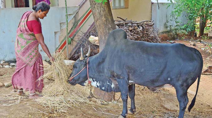 Kavitha  feeding the bull she is training for Jallikattu this year.