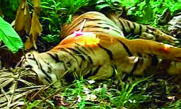 The carcass of the tiger which was found dead near the Karnataka - Kerala border. (Photo: Deccan Chronicle)