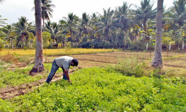 The software engineer plucks out weeds from his vegetable farm at Ambur .