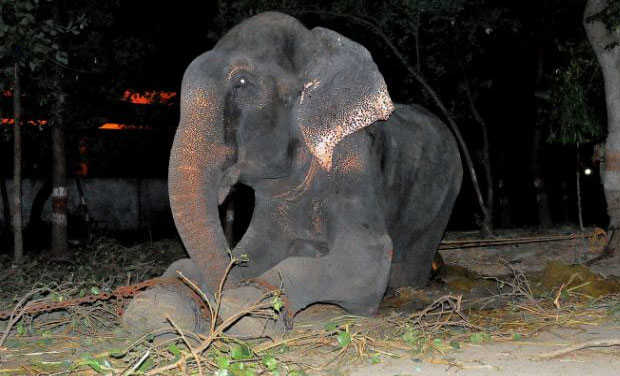 Raju the elephant. Photo: WILDLIFE SOS